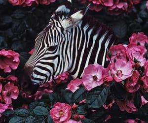 animal, zebra, and nature image