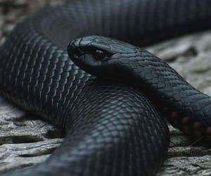 snake, black, and animal image