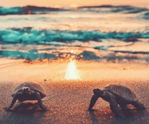 ocean, sunset, and turtle image