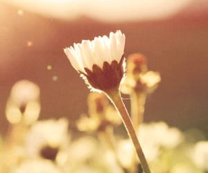 daisy, golden, and flower image