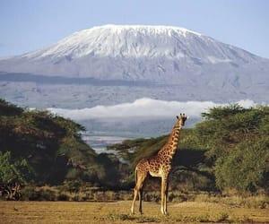 animal, giraffe, and africa image