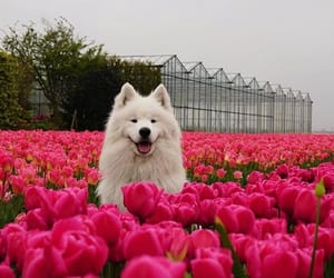 dog, flowers, and tulips image