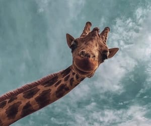 animal, blue, and giraffe image