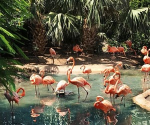 flamingo, pink, and nature image