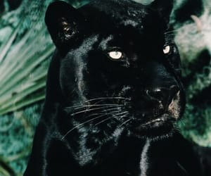animal and panther image