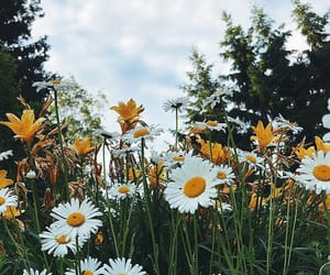 daisy, finland, and flowers image