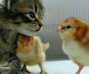 cat, Chick, and animal image