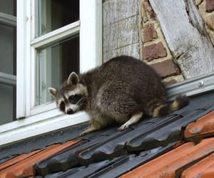 raccoon removal san diego image