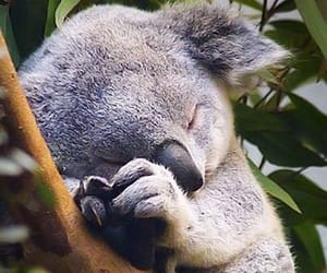 Koala, animal, and sleep image