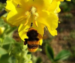 bee, brown, and flower image