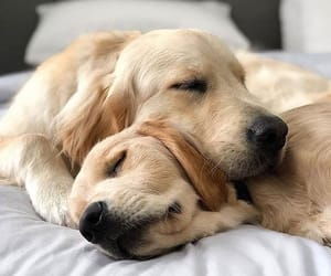 dog, friend, and golden retriever image