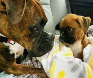 boxer, puppy, and dogs image