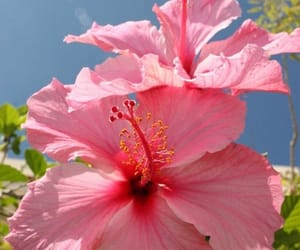 flowers, pink, and flores image