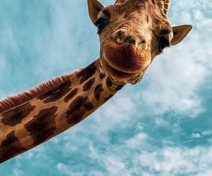 animal, giraffe, and sky image