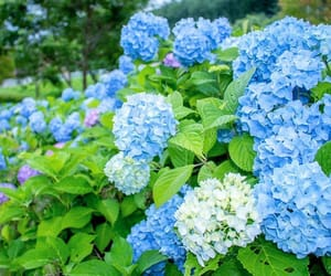 asia, hydrangea, and seeing image