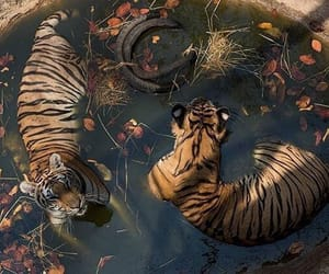animal, theme, and tiger image