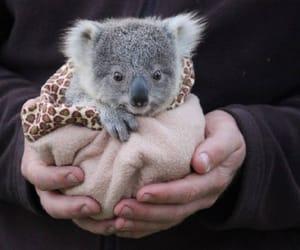 baby, baby animal, and Koala image