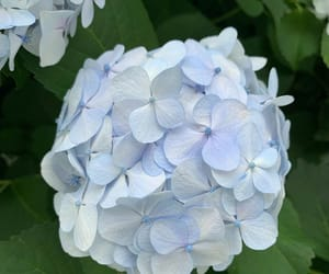 aesthetic, hydrangea, and baby blue image