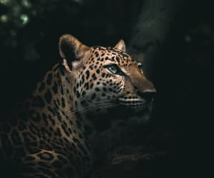 animals, beauty, and leopard image