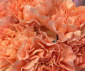 carnations, flowers, and peach image