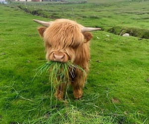 animal, cute, and cow image