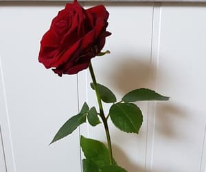 photography, rose, and takenbyme image