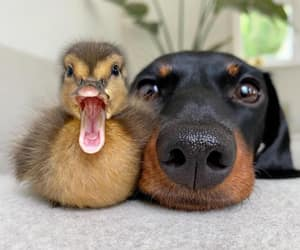 dog, duck, and animal image