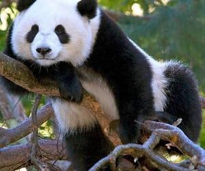 animals, bear, and panda image