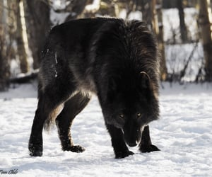 black wolf and wolf image