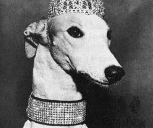 dog, black and white, and Queen image