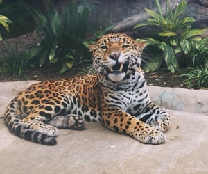 animal, cat, and jaguar image