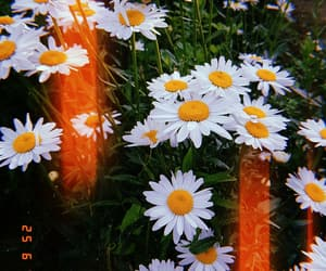 aesthetic, alternative, and daisy image