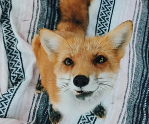 animals, dog, and fox image