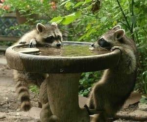 animal, raccoon, and racoon image