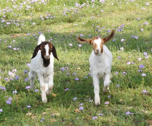 goat, aesthetic, and animal image