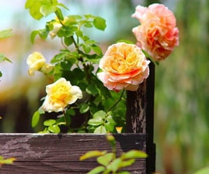 beautiful, rose, and roses image