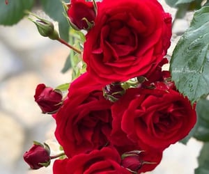flower, rose, and roses image