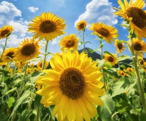 flores, naturaleza, and girasoles image
