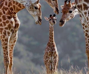 giraffe, animal, and family image