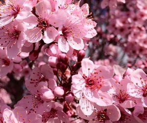 aesthetic, cherry blossoms, and spring image