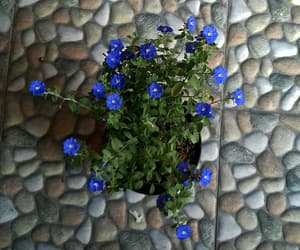 blooming, blue, and flower image