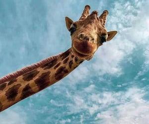 animal, giraffe, and sky image