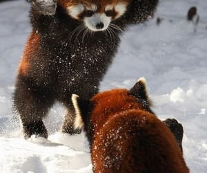 animals and Red panda image