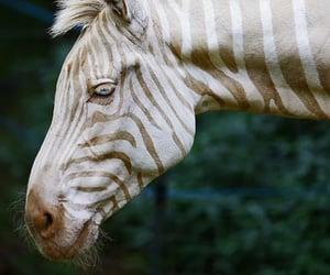 zebra, animal, and albino image