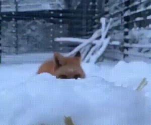 animals, gifs, and fox image
