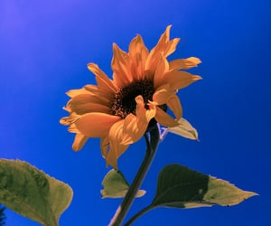 flower, sky, and sunflower image