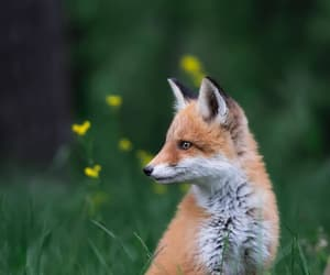 animals, fox, and photography image