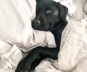 bed, black, and dog image