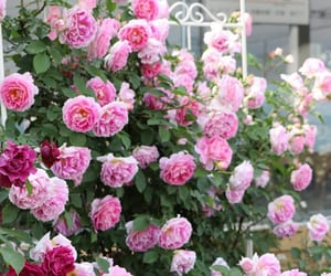 rose, beautiful, and colors image