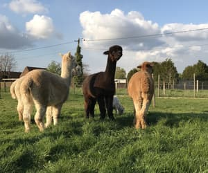 alpaca, animals, and cute image